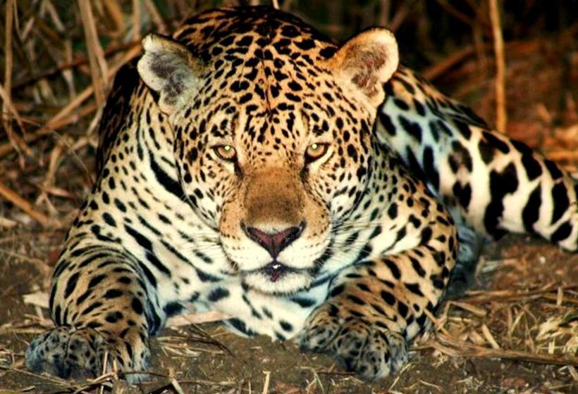 Safari photo : Sur les traces du Jaguar, voyage Amérique du Sud